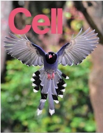 飛躍的台灣國鳥藍鵲登上國際期刊「細胞」雜誌封面