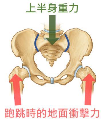 骨盆幫助保持穩定