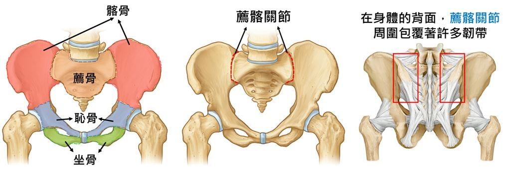 骨盆的結構