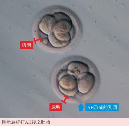 圖示為施打AH後之胚胎