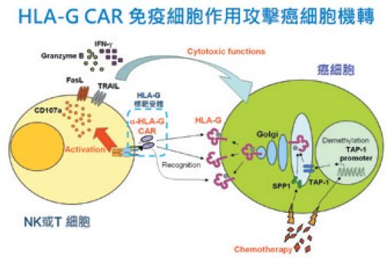 HLA-G CAR 免疫細胞作用攻擊癌細胞機轉