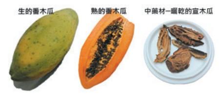 中藥用的宣木瓜,與市售木瓜是不同植物