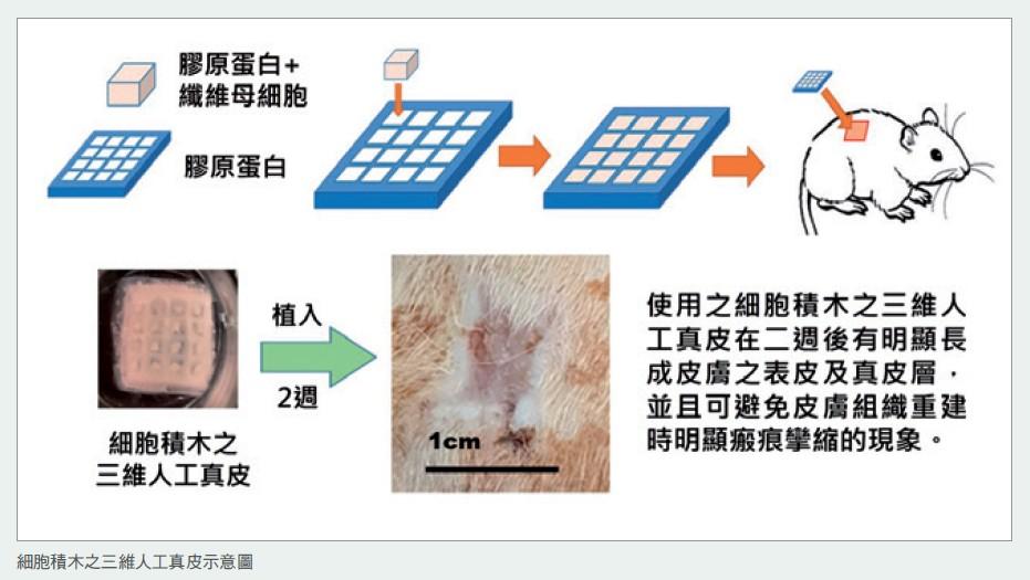 細胞積木之三維人工真皮示意圖
